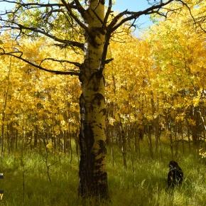 Aspen leaves turn to gold along Peak toPeak