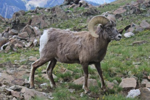 GeorgetownBighorn_Sheep