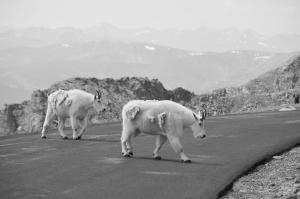 goats.JVS