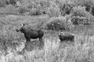 moose.jvs