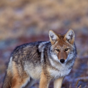 Coyotes subject of March 25 Rocky Mountain Conservancy class